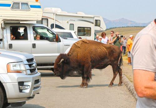 bisonti sulla strada